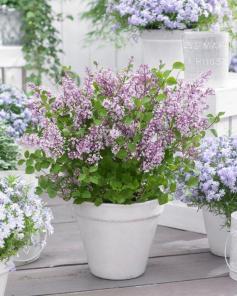syringa-meyeri-anny200809-flowerfesta-purple1494423045-1
