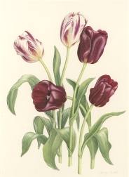 Jenny-Jowett-Tulipa-Jan-Reig-Grand-perfection