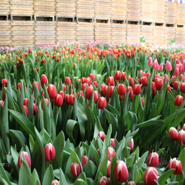 Tulip Trade Event 2018 - IMG_7484 (Large)