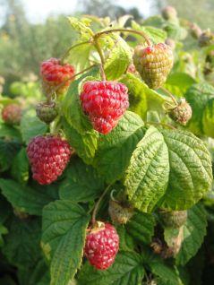 ruiinon Rubus-Yummy_Plantipp