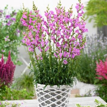 Antirrhinum majus 'Pmoore07' (PRETTY IN PINK)