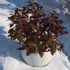 Trachelospermum jasminoides 'Trared' (WINTER RUBY)