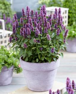 Agastache rugosa 'Agapd' (Beelicious Purple)
