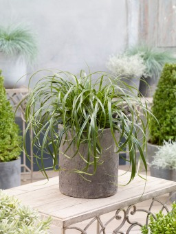 Carex 'ET CRX02' (Ribbon Falls)