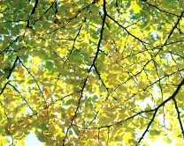 Ginkgo The Living Fossil 02 ©Jimmy Shen