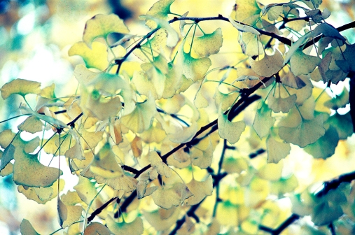 Ginkgo The Living Fossil 05 ©Jimmy Shen