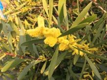 Acacia dealbata 'Chenille'