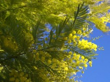 Acacia dealbata 'Delpierre'