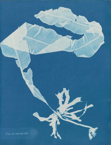 Anna Atkins (1799–1871), Alaria esculenta, from Part XII of Photographs of British Algae_ Cyanotype Impressions, 1849-1850, cyanotype. Spencer Collection, The New York Public Library, Astor, Lenox and Tilden