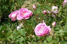 Coillette de la Rose de Mai ©Musées de Grasse, Photos C. BARBIERO