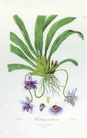 Franz Bauer - Huntleya violacea ©Teylers Museum