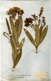 Nerium oleander specimen ©Bodleian Libraries University of Oxford