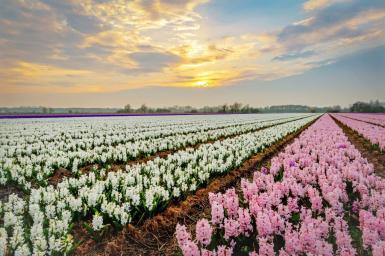 Tulip fields ©Keukenhof