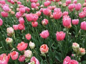 Tulip_©theflorajournal
