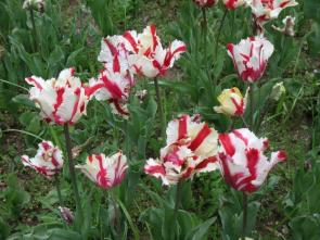Tulip©theflorajournal