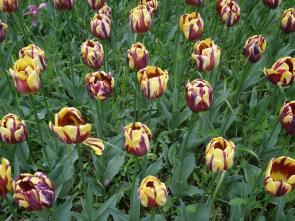 Tulips ©theflorajournal