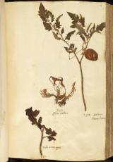 Herbarium En Tibi © Naturalis Biodiversity Centre (L 2077674 )