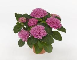 Hydrangea macrophylla 'Hocomagicevo' (MAGICAL EVOLUTION) ©GTT