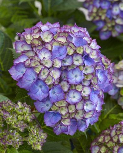 Hydrangea macrophylla 'SchrollA20' (SPARKLING BLUE) ©GTT