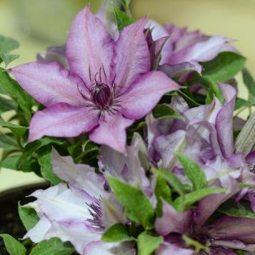 Clematis 'Elodi™ Tudor Patio® Evipo 115 (N)'_The Bransford Webbs Plant Company & The Guernsey Clematis Nursery ©HTA