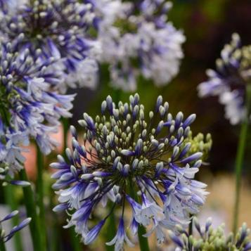 Herbaceous Perennials_Agapanthus 'AMB001' 'Fireworks'_Fairweather's ©HTA