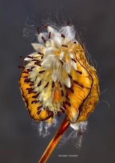 Asclepia Seeds ©Richard Fischer