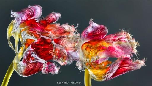 Parrot tulips ©Richard Fischer