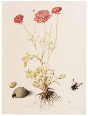 Ranunculus with Two Almonds and a European Carpenter Bee (Xylocopa violacea) ©Florence, Gallerie degli Uffizi, Gabinetto dei Disegni e delle Stampe