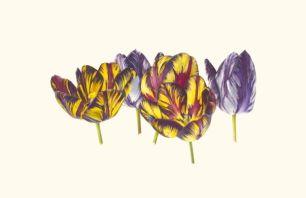 Fiona Strickland_English Florist Tulip Group Portrait_watercolour on Kelmscott vellum_41 x 63cm