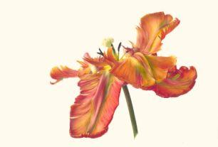 Fiona Strickland_Tulipa 'Blumex Parrot'_watercolor on Kelmscott vellum_28 x 41.1cm