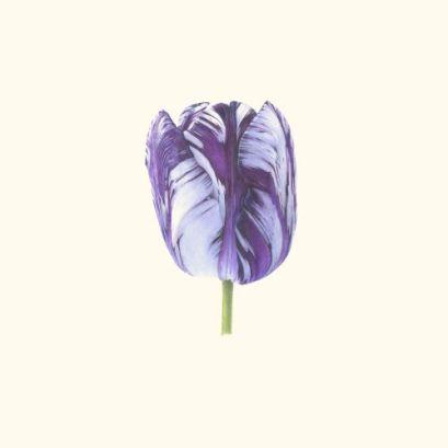 Fiona Strickland_Tulipa 'Rory McEwen' on McEwen vellum_17 x 17cm