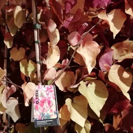 O2tree nursery cercis canadensis eternal flame